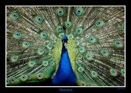 """Résultat de recherche d'images pour """"peacock"""""""