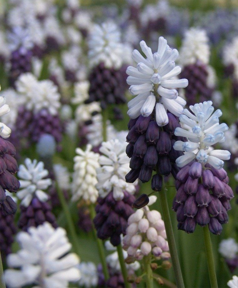 10 Purple White Musari Bulbs Garden Hardy Perennial Flower Grape Hyacinth Sun Shade Early Bloom Container Plant Fall Spring Landscape Plant is part of Sun Shade garden - neutral feedback  Contact us for solution, We'll try our best to fix the problem as soon as possible    Important, Please read All seeds have been test sown to ensure germination  Please familiarize yourself with growing conditions and instructions for your seeds before you plant them, as all seeds are different  Basic growing instructions can be found under each listing    We Cannot Guarantee how much you will be able to grow, as too many variables come into play, soil condition, your ability to garden, weather etc  I guarantee that they arrive as described and are in good viable condition and the germination rates are accurate