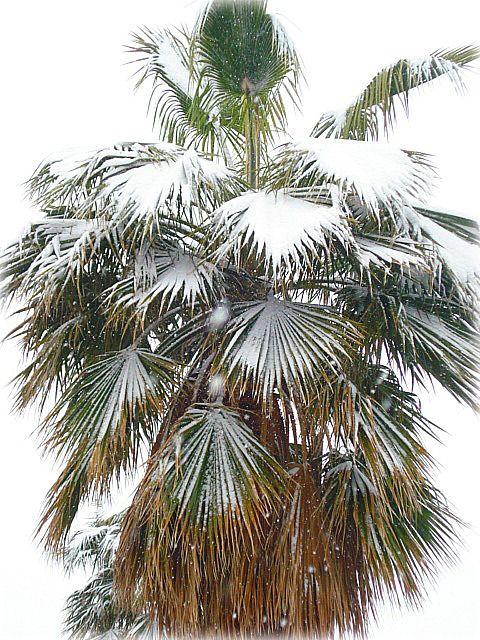 Winter Palm Tree Care