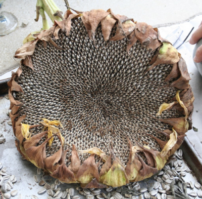 The Homestead Survival   How To Harvest Sunflower Seeds