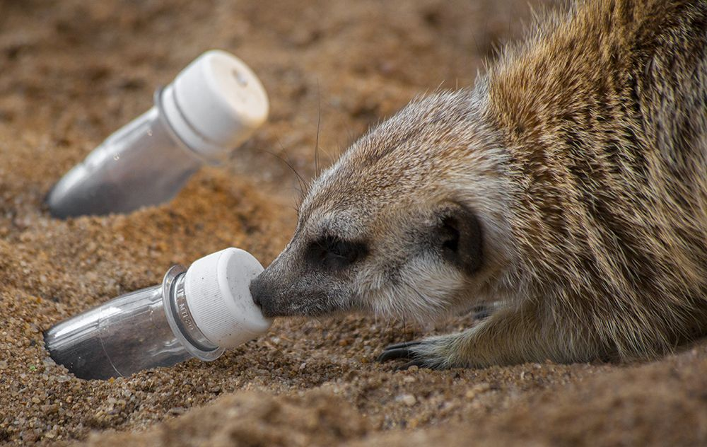 Scent or Mealworms? Zoo animals, Meerkat, Binturong