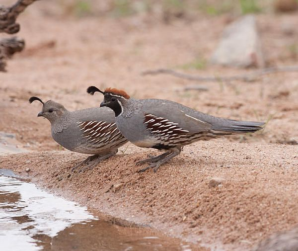 Quail Couple By Ruth Jolly Small Birds My Pictures Quail