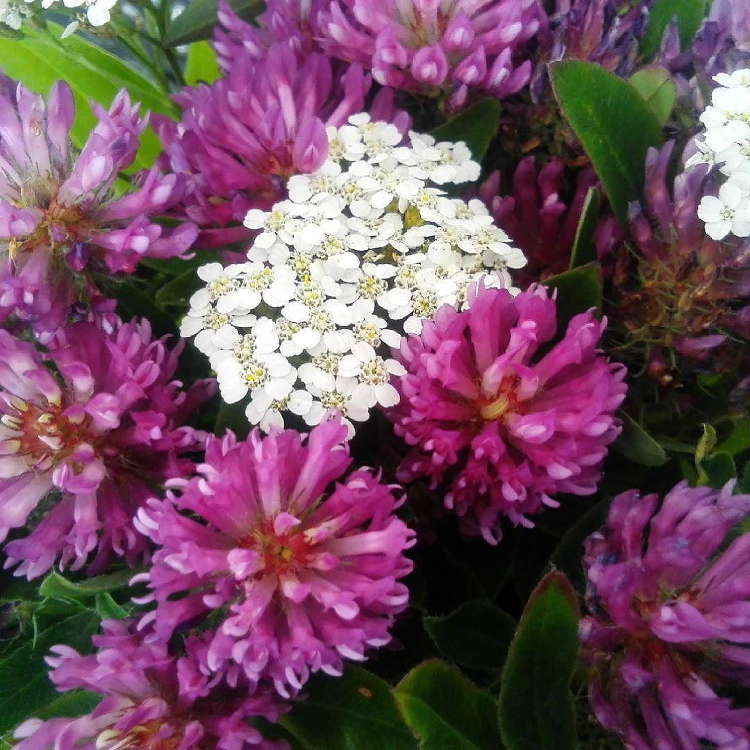 #elokuu #kesäkukkia #niittykukkia #puna-apila #liisako