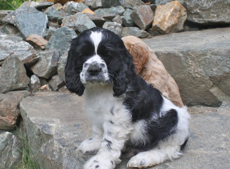 Sweet little black and white cocker spaniel puppy...Why is