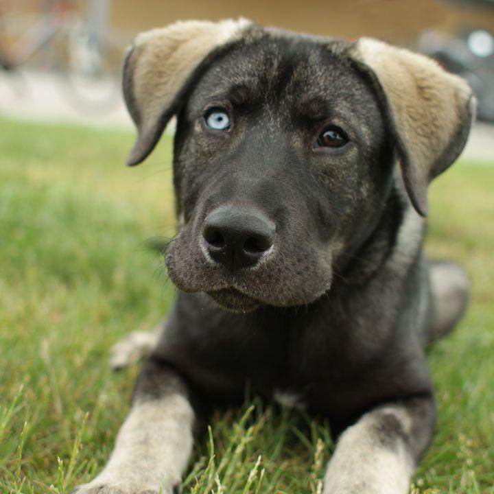 Ghost German Shepherd Mix Golden Retriever Mix Puppies German Shepherd Lab Mix Pitbull Lab