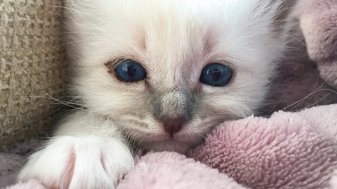 This cute face belongs to Daim  #minivaniljer #minivaniljerna2016 #birma #birman #breeder #catsofinstagram #chokladochvanilj #kitten #pinkalicious #welovecats #we_love_cats