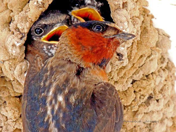 Barn Swallow with chicks   Barn swallow, Wild birds, Barn