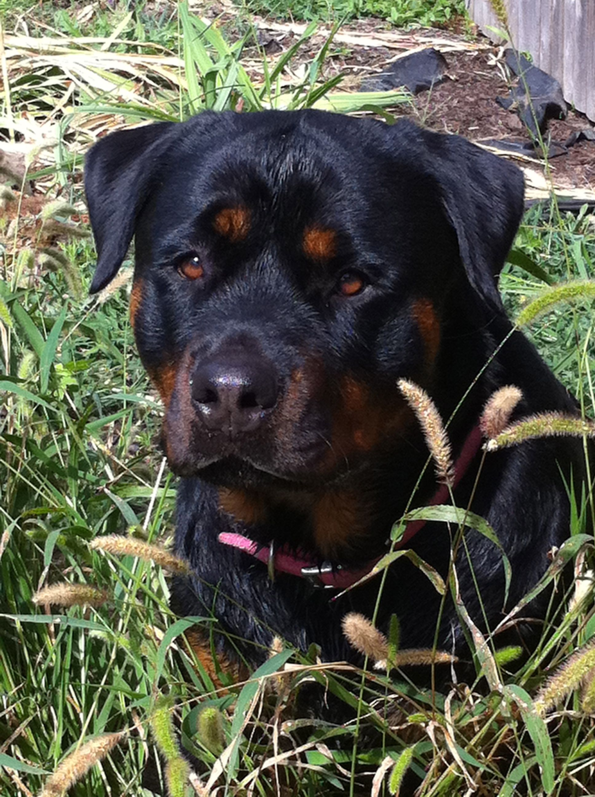 Rottweiler Such A Pretty Baby Rottweiler Love Rottweiler Dog