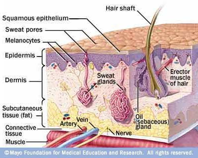 anatomy Your skin has three layers that house your sweat and oil glands, hair follicles, melanocytes and blood vessels.Your skin has three layers that house your sweat and oil glands, hair follicles, melanocytes and blood vessels.