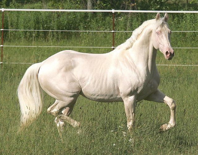 Albino Stallion 2 Horses Albino Horse White Horses