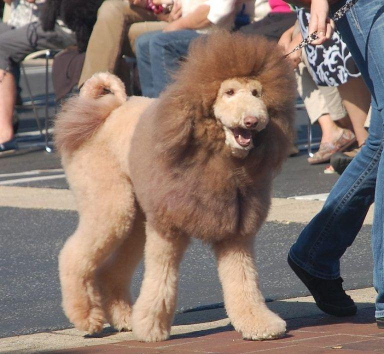 45++ Goldendoodle haircuts teddy bear ideas
