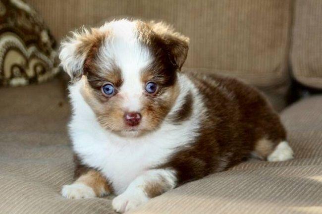 Teacup Puppies For Sale In Australia Zoe Fans Blog Aussie Shepherd Puppy German Shepherd Mix Puppies Australian Shepherd