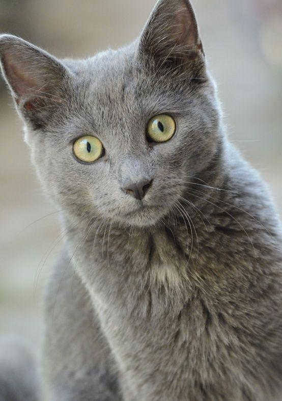 Chartreux Cat Breeds Katzen Katzenrassen Katzen Rassen