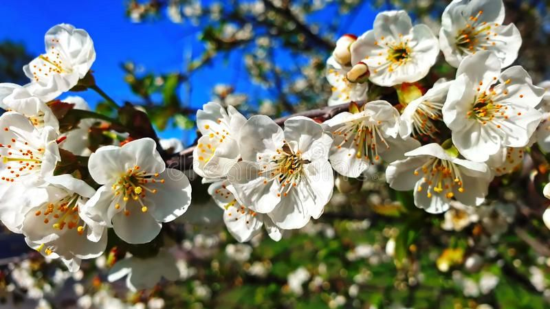 Spring Flowers Cherry Blossom Tree Spring Summer Flowers But Floral Beautiful White Blue Sky Nature Backgroun Cherry Blossom Tree Summer Flowers Blossom Trees