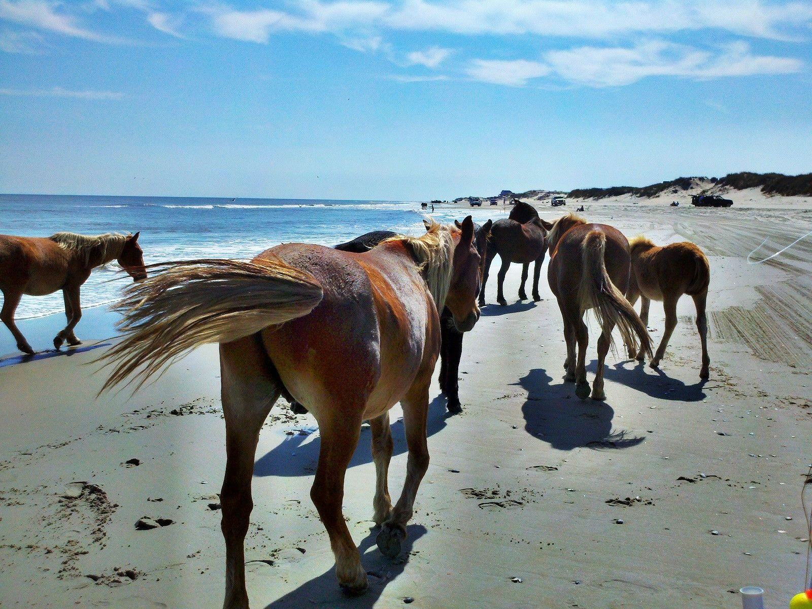 Wild Horses At Corolla Beach North Carolina