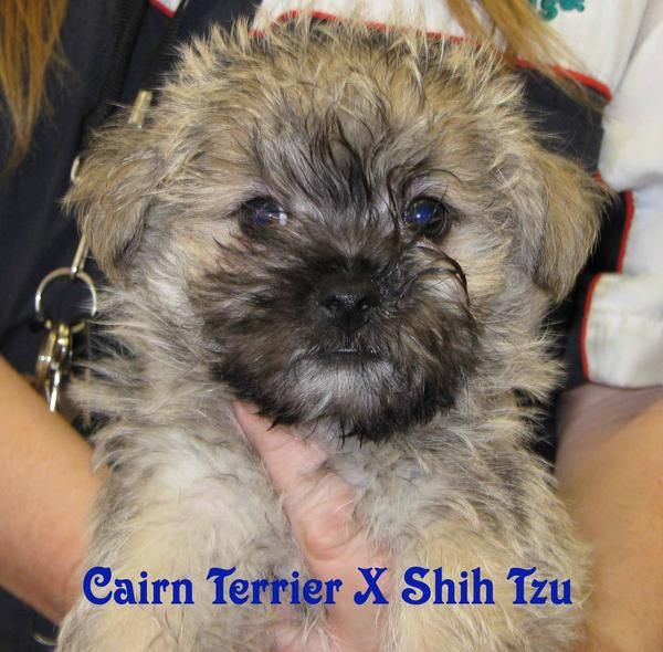 Cairn Terrier Shih Tzu Mix These Are Some Of The Puppies That We