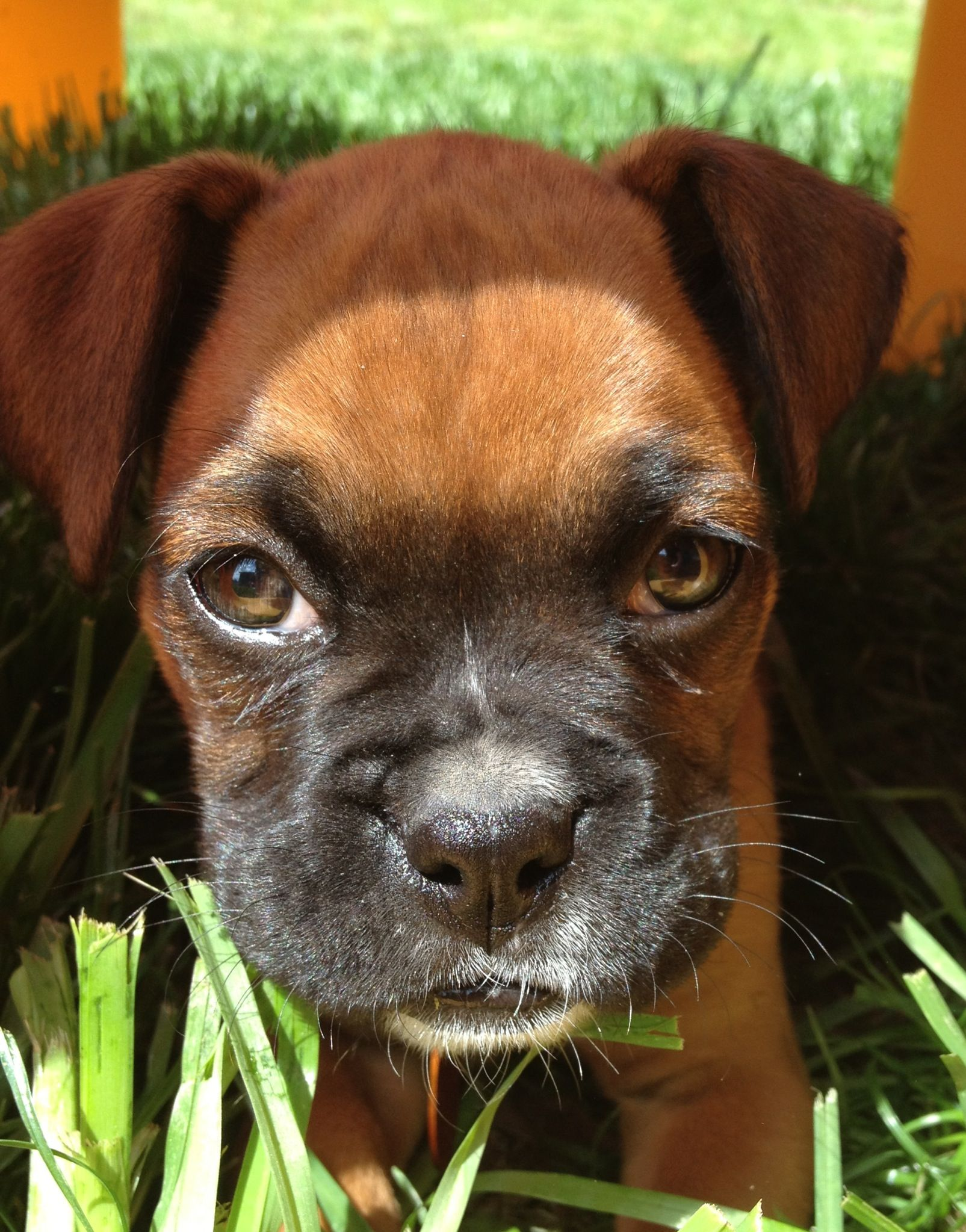 Boxer Puppy Boxer puppies, Boxer dogs, Boxer breed