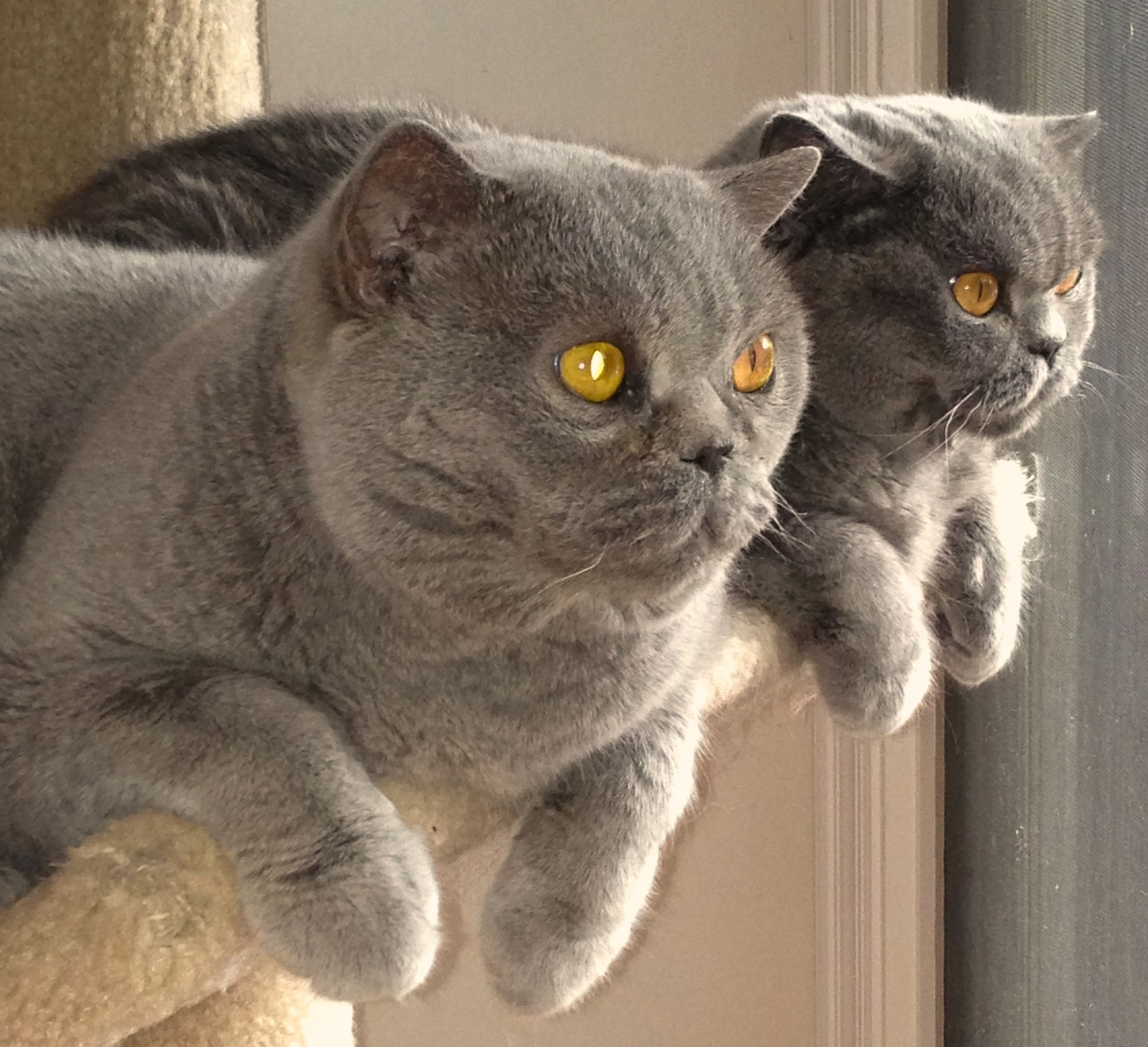 Blue British Shorthairs The cat in front was the 1 Brit