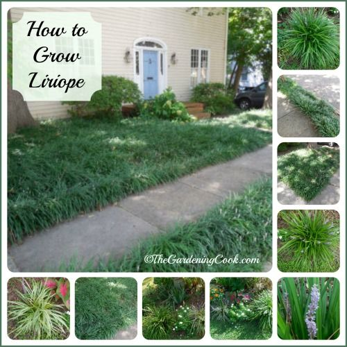 Liriope Care - How to Grow Monkey Grass - Tips for Growing Lilyturf ...