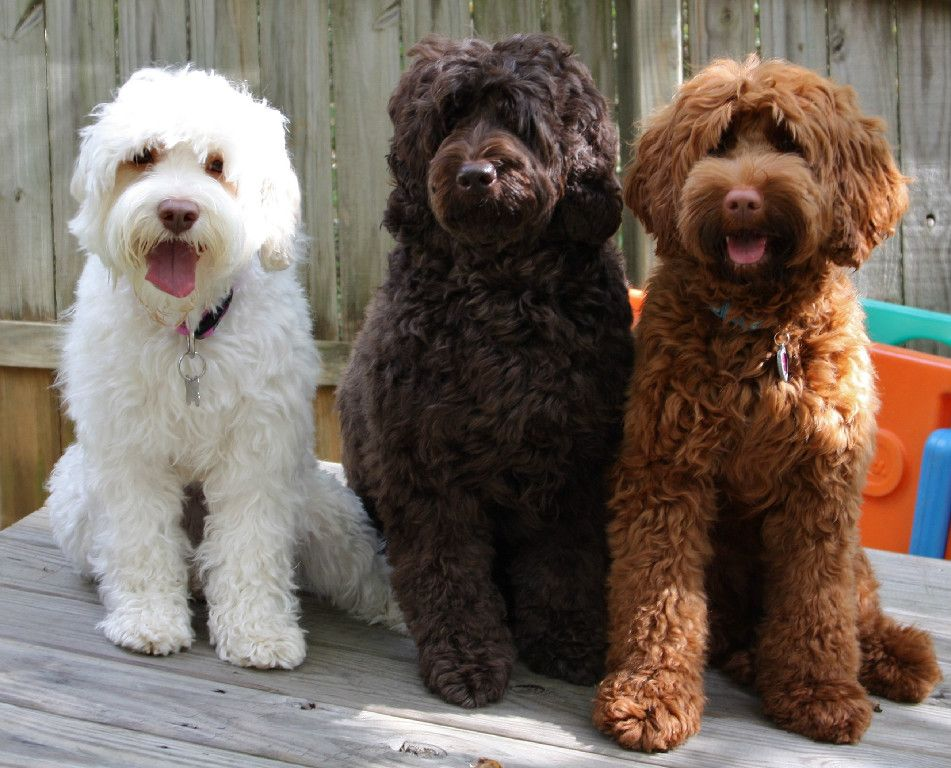 Information Links Labradoodle puppies for sale