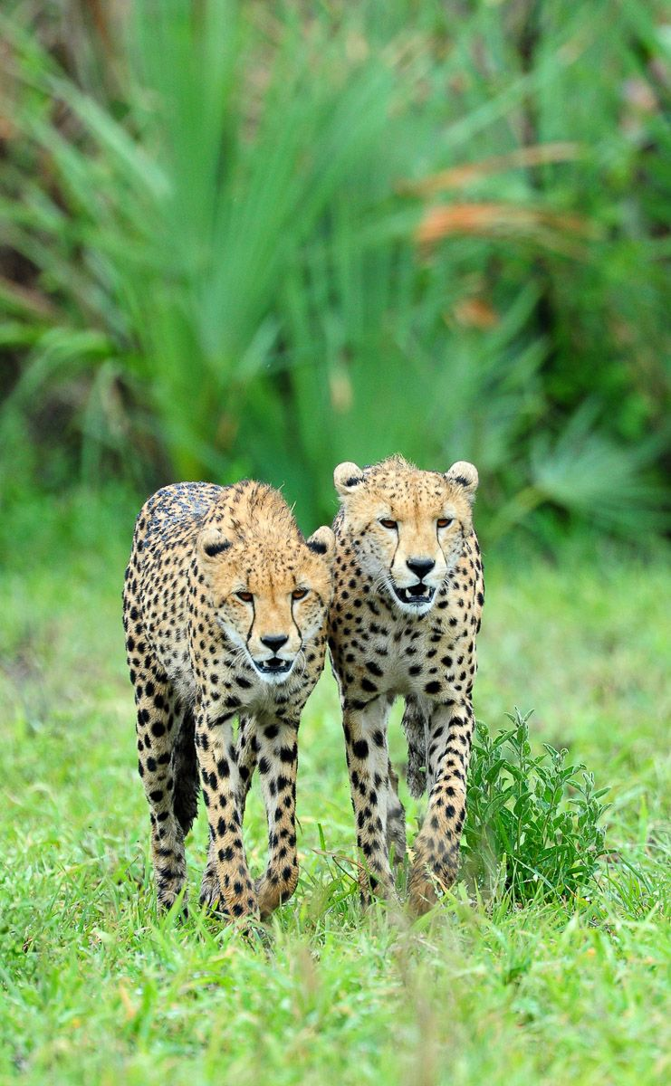 Cheetahs Of The Kruger National Park Are Not Easy To Find Kruger National Park Amazing Animal Pictures Cheetahs