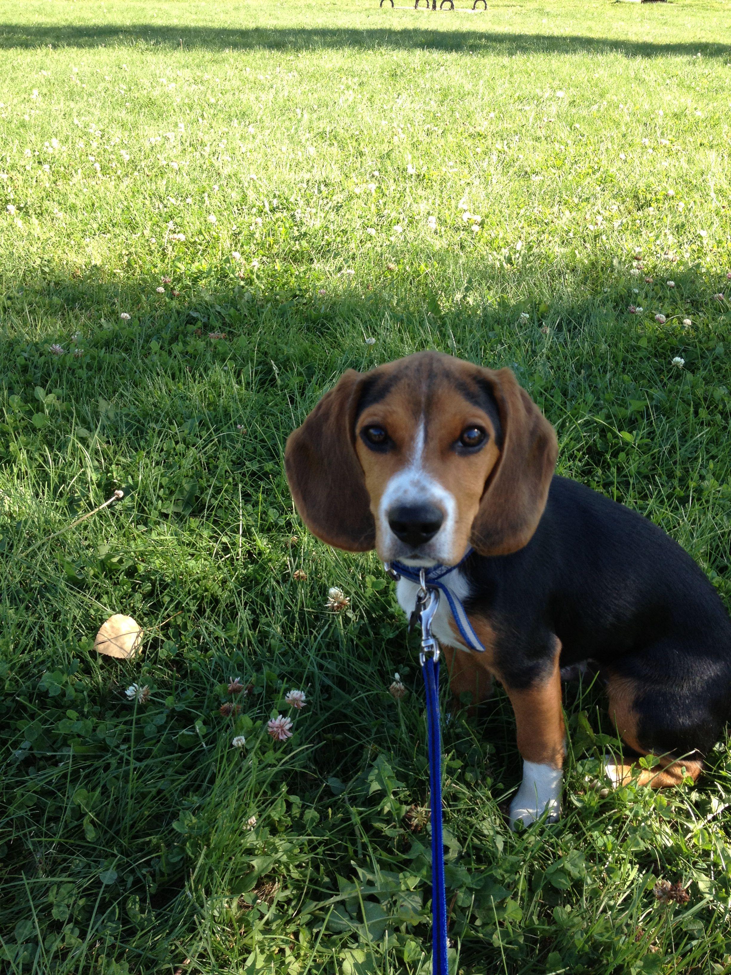 Adorable Beagle Puppy Beagle Puppy Puppies Animals