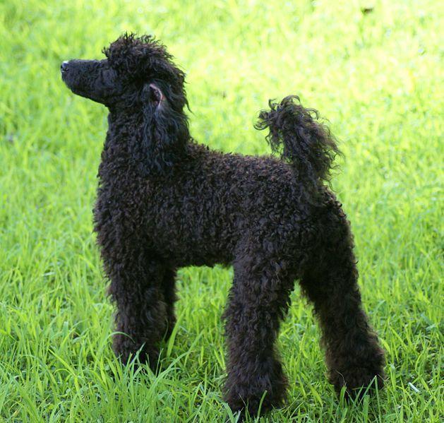 A Male Miniature Poodle Miniature Poodle Poodle Dog Poodle