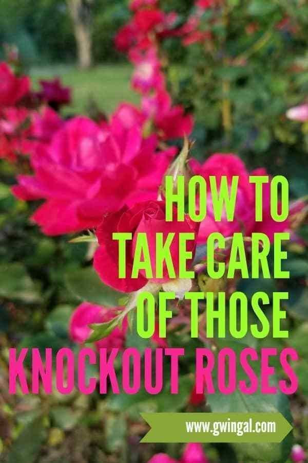 3 Care Tips for Knock Out Roses ~ Gwin Gal Inside and Out #knockoutrosen 3 Care Tips for Knock Out Roses ~ Gwin Gal Inside and Out #knockoutrosen 3 Care Tips for Knock Out Roses ~ Gwin Gal Inside and Out #knockoutrosen 3 Care Tips for Knock Out Roses ~ Gwin Gal Inside and Out #knockoutrosen 3 Care Tips for Knock Out Roses ~ Gwin Gal Inside and Out #knockoutrosen 3 Care Tips for Knock Out Roses ~ Gwin Gal Inside and Out #knockoutrosen 3 Care Tips for Knock Out Roses ~ Gwin Gal Inside and Out #kno #knockoutrosen
