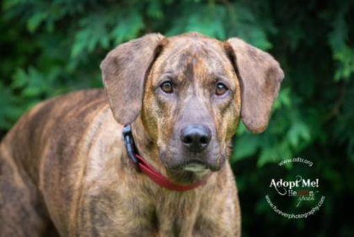 Warsaw, IN - Plott Hound. Meet Leonard a Dog for Adoption. #labradorretriever #plotthound