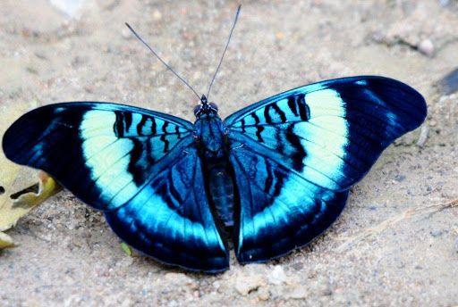 Queen Flasher butterfly (Panacea regina)