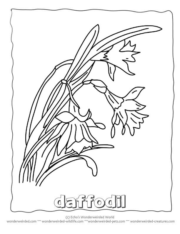 Flower Coloring Sheets Daffodils Wonderweirded Wildlife Free Printable Pages Of Daffodil Pictures