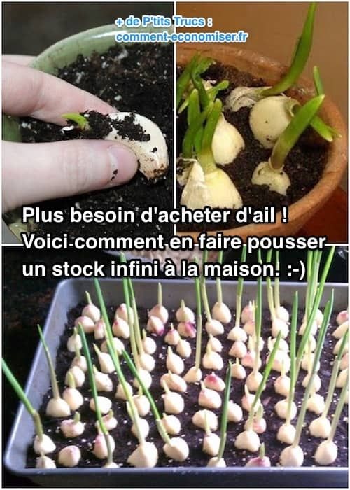 Come coltivare aglio in vaso - Lu0027aglio è una delle piante più