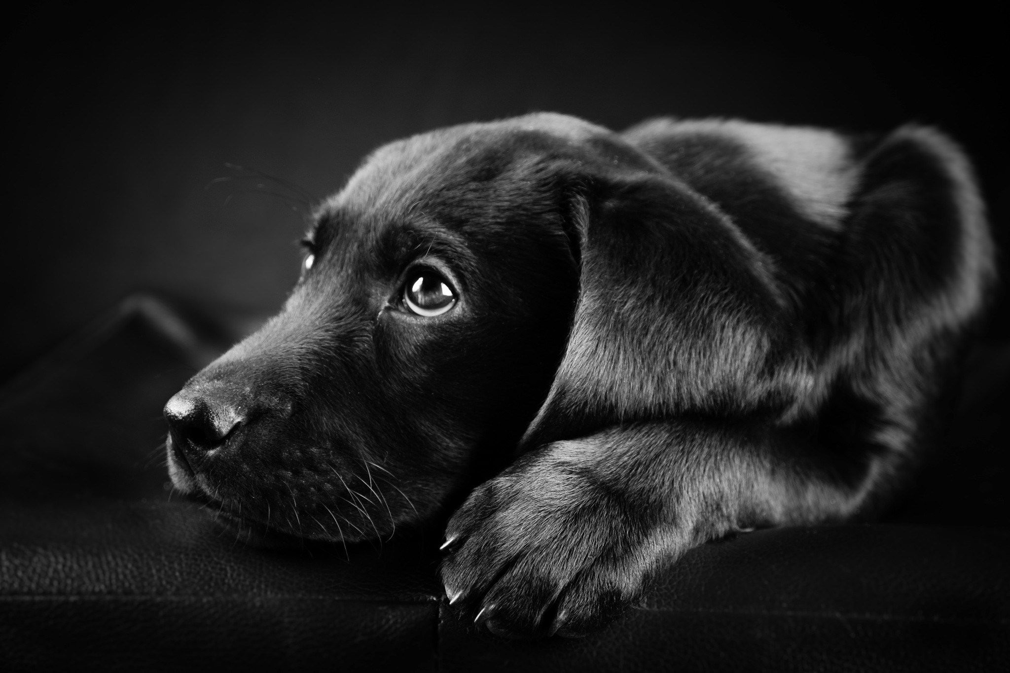 Black and White Dog Pictures Compilation Black And White o