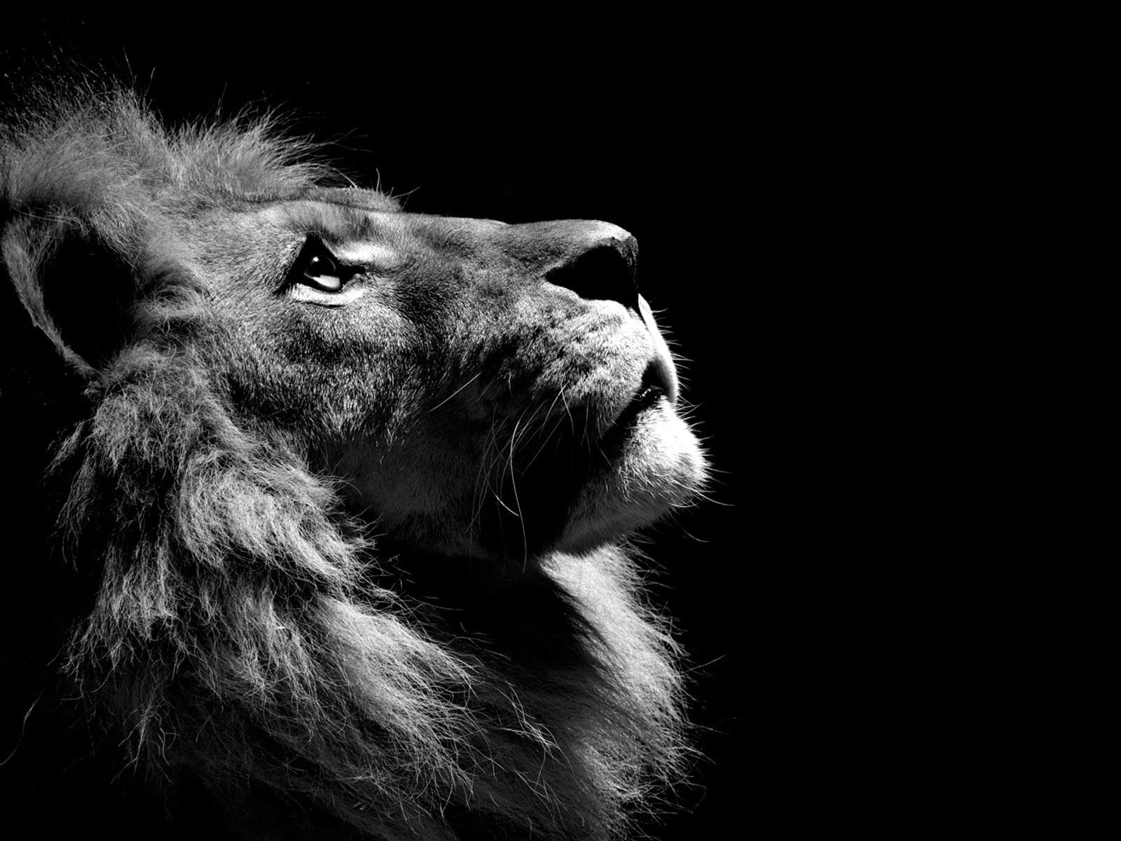 Lion images black and white