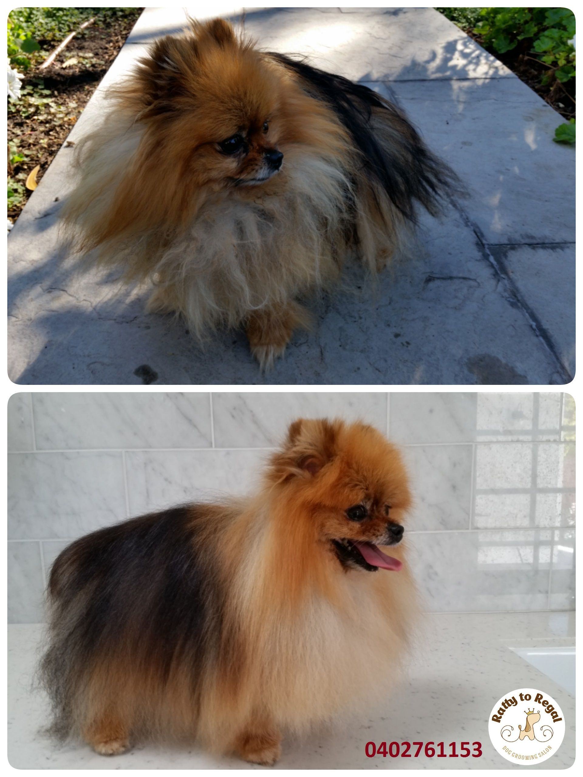 If you love❤️ super tiny breeds take a look at this girl!🐞 Her name is Frankii.  She is 5 years young Pomeranian and her weight is only 1.6 kg! She is so tiny that you just can put her in your pocket and go for a walk  🌳 Frankii resembles a tiny lion🦁 with her beautiful fluffy coat that's the colour of honey 🍯 Her mum, Lauren, brought her to me for Tidy Up Service. It includes a proper brush out to remove the loose undercoat, warm bath with massage, blow dry, tidy up on the face and…