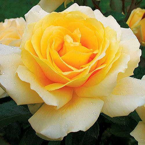 Garden Roses Hybrid Tea Roses Floribunda Roses Climbing Roses And Shrub Rose Hybrid Tea Roses Winter Flowers Garden Floribunda Roses