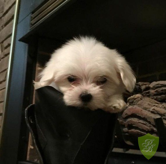 Puppies For Sale New Jersey Maltese Puppies Maltese Puppies For Sale Puppies For Sale Puppies