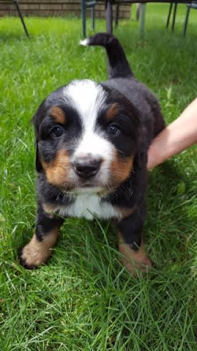 Bernese Mountain Dog Puppy For Sale In Osseo Mn Adn 35948 On