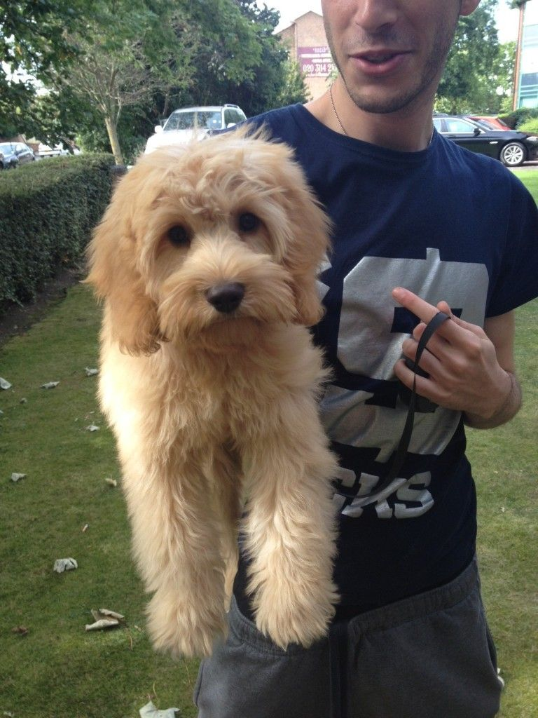 goldendoodle haircuts golden doodle haircut doggie stuff cute haircut pic only with images goldendoodle