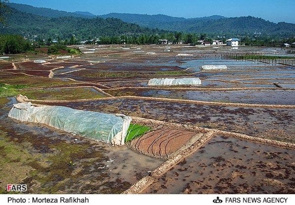 نشای برنج درخشکبیجار - استان گیلان    Khoshk_e_Bijiar - regione Gilan - Iran la coltivazione del riso
