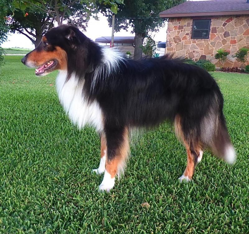 Adopt Buster New 8 9 On Collie Dog Collie Rescue Collie
