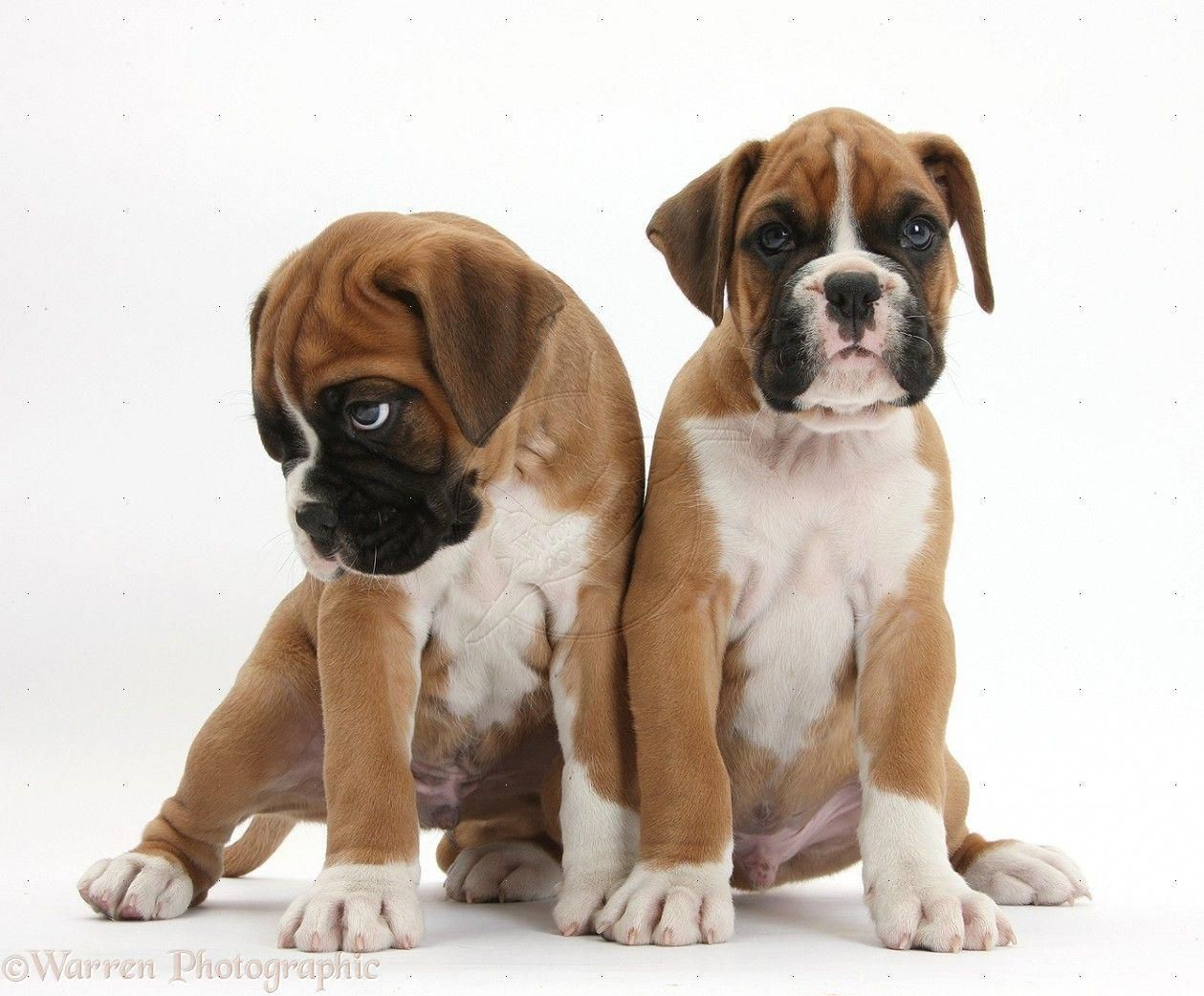 Receive Fantastic Suggestions On Boxer Pups They Are Actually Available For You On Our Web Site Boxerpups With Images Boxer Puppies Boxer Dogs Puppy Sitting