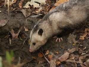 Opossum foraging for food.
