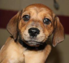 Adopt Kellie On Dachshund Dog Adoptable Dachshund Dog Dogs