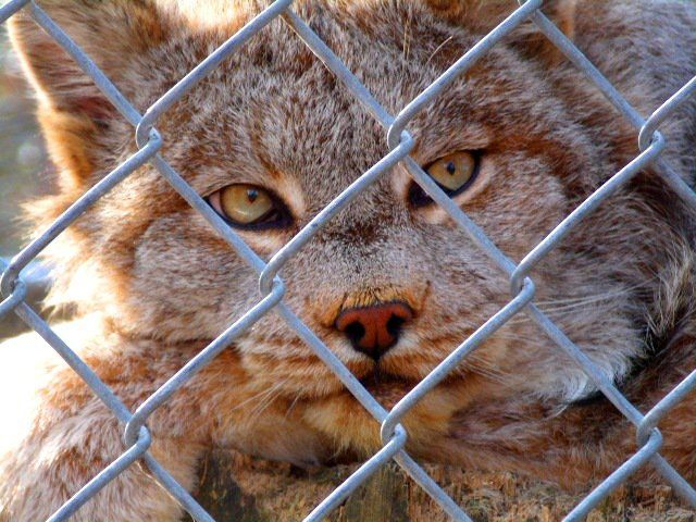 CAGED KITTY APRIL 2011