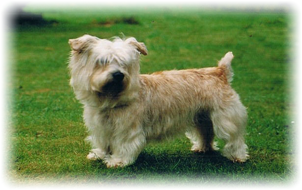 Welcome To Romainville Glen Of Imaal Terriers Uk Glen Of Imaal Terrier Irish Dog Irish Dog Breeds