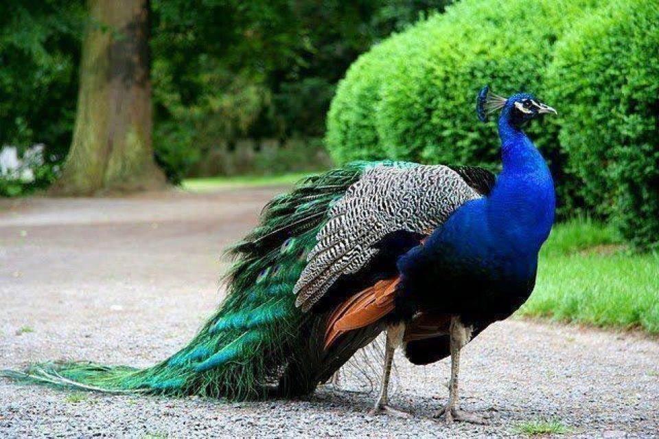 Peacock Varieties - Google Search