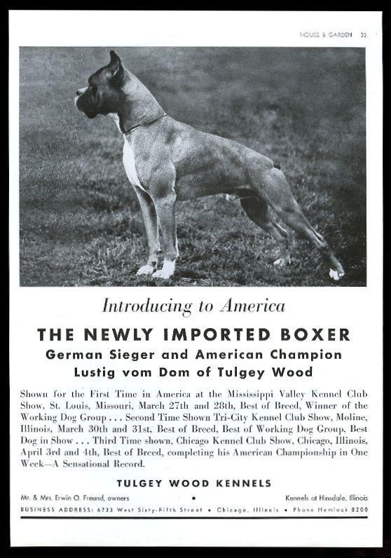 1937 Boxer Champion Dog Photo Illinois Breeder Vintage Print Ad Boxer Dogs Dogs Boxer