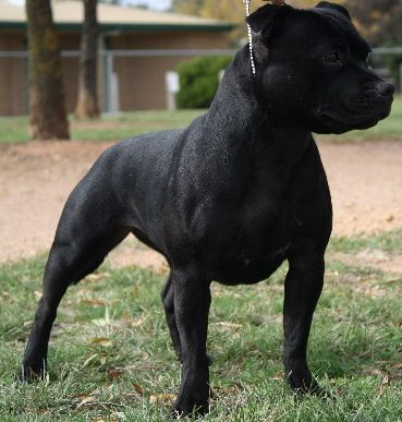 Gallery Category Black Staffordshire Bull Terrier Image