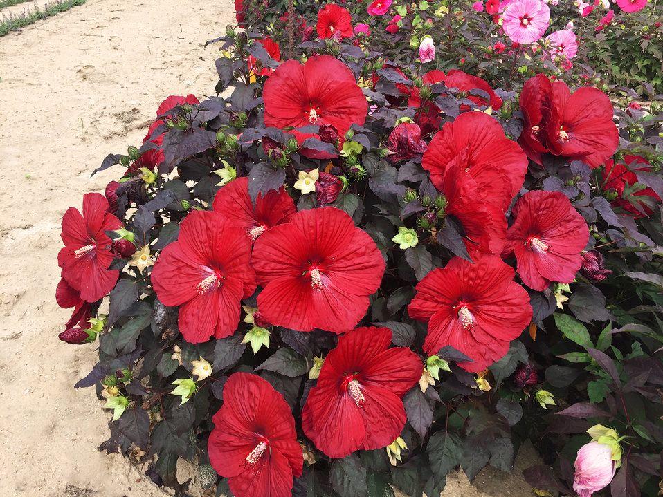 Summerific Holy Grail Rose Mallow Hibiscus Hybrid Hardy Hibiscus Hibiscus Plant Hibiscus Flowers